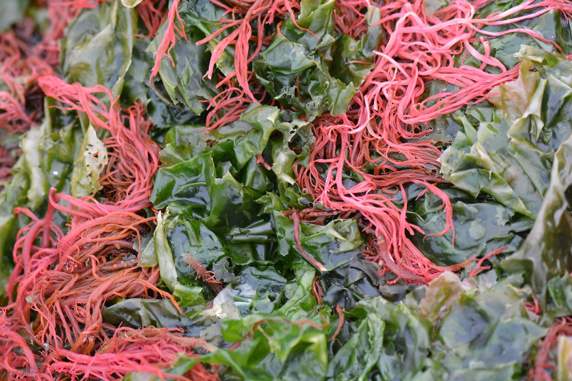 seaweed-513707_1920